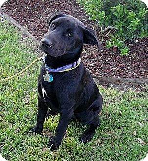 Labrador Retriever Mix Dog for adoption in Coppell, Texas - Molly