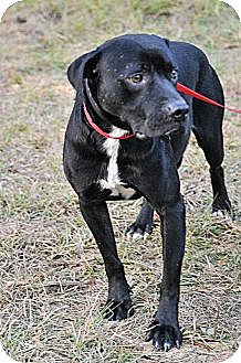 Labrador Retriever Mix Dog for adoption in Jackson, Mississippi - Dale Earnhardt