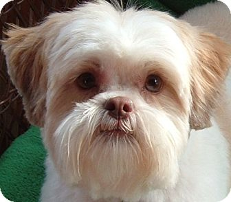 Shih Tzu Dog for adoption in Eden Prairie, Minnesota - POPPY-PENDING