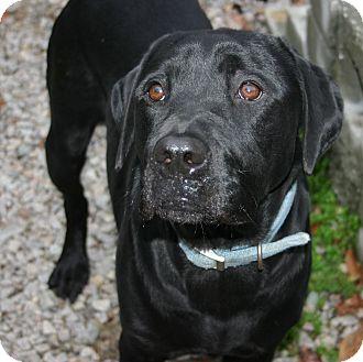 Dugan Adopted Dog 49524 Carthage Nc Labrador Retriever