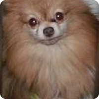 Adopt A Pet :: Simone - Muskegon, MI