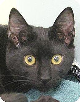 Domestic Shorthair Cat for adoption in Morgan Hill, California - Jett