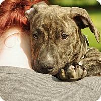Adopt A Pet :: Mowgli - Reisterstown, MD