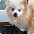 Adopt A Pet :: Dahlia  (Has application)