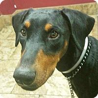 Adopt A Pet :: Brandy - Las Vegas, NV