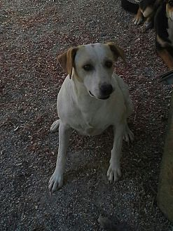 Jack Russell Terrier/Hound (Unknown Type) Mix Dog for adoption in West Plains, Missouri - Dudette