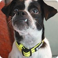 Adopt A Pet :: Dekker - Austin, TX