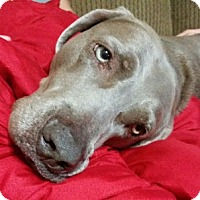 Weimaraner Dog for adoption in Dallas, Texas - NELLY - Austin