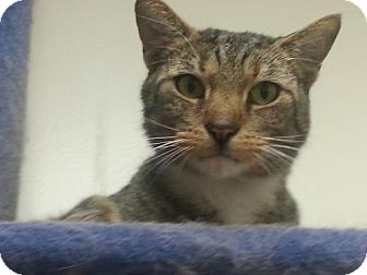 Domestic Shorthair Cat for adoption in marine, Michigan - Freddie