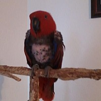 Eclectus for adoption in Tampa, Florida - Scarlett