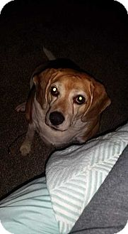 Beagle Puppy for adoption in San Angelo, Texas - Buck