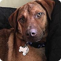 Adopt A Pet :: Rusty - Manhasset, NY