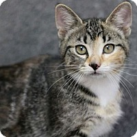 Domestic Shorthair Kitten for adoption in Raleigh, North Carolina - Terri L