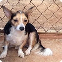 Chihuahua Mix Dog for adoption in Waipahu, Hawaii - Yang