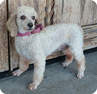 Poodle (Miniature) Dog for adoption in Bridgeton, Missouri - Blanch