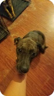 Greyhound/Labrador Retriever Mix Dog for adoption in Crosby, Texas - Bonnie