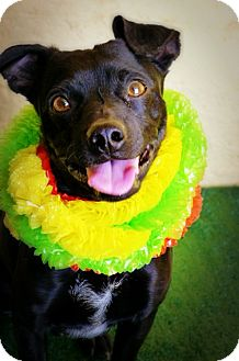Miniature Pinscher/Terrier (Unknown Type, Small) Mix Dog for adoption in Casa Grande, Arizona - Tyson