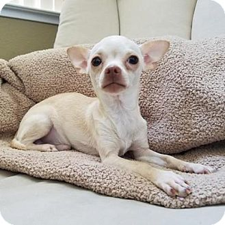 Chihuahua Dog for adoption in Pleasant Hill, California - Jacob