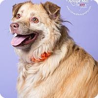 Adopt A Pet :: Clara - Apache Junction, AZ