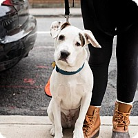 Adopt A Pet :: Mark Darcy - Brooklyn, NY