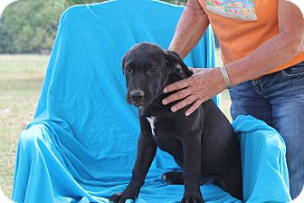 Mastiff/Labrador Retriever Mix Puppy for adoption in Albany, New York - Lincoln
