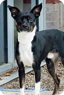 Rat Terrier Mix Dog for adoption in Gahanna, Ohio - Floyd