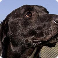 Labrador Retriever/Labrador Retriever Mix Dog for adoption in Winter Park, Colorado - Barret