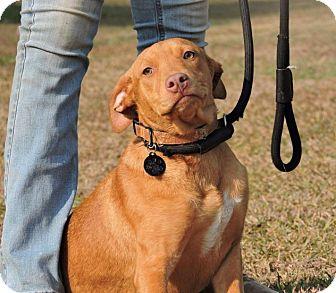 Labrador Retriever/Hound (Unknown Type) Mix Puppy for adoption in Berkeley Heights, New Jersey - Miss Ringo