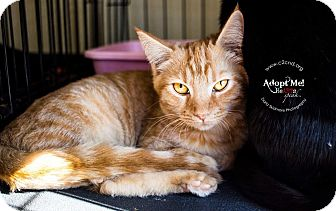 Domestic Shorthair Kitten for adoption in Mooresville, North Carolina - A..  Thurston