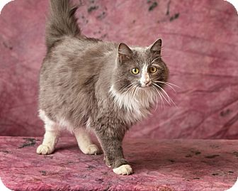 Domestic Longhair Cat for adoption in Harrisonburg, Virginia - Warren Peace