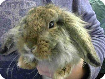 American Fuzzy Lop for adoption in Sacramento, California - A703477