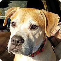 Adopt A Pet :: Chowder - Wantagh, NY