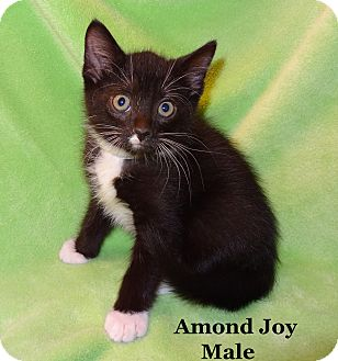 Domestic Shorthair Kitten for adoption in Bentonville, Arkansas - Almond Joy