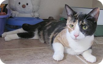 Calico Cat for adoption in Tombstone, Arizona - Cricket