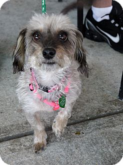 Dachshund/Poodle (Miniature) Mix Dog for adoption in Baton Rouge, Louisiana - Princess