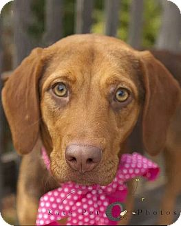 Beagle/Vizsla Mix Puppy for adoption in Austin, Texas - ZOEY