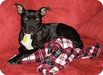 Pit Bull Terrier Mix Dog for adoption in Mansfield, Ohio - Scout
