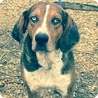 Adopt A Pet :: Blue - Hatifeld, PA