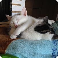 Adopt A Pet :: Sweet Pea - Island Park, NY