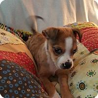 Adopt A Pet :: Babou - Homewood, AL