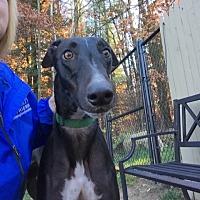 Adopt A Pet :: Torque - Swanzey, NH
