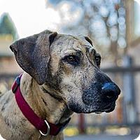 Adopt A Pet :: Desere - Courtesy Post - Boulder, CO