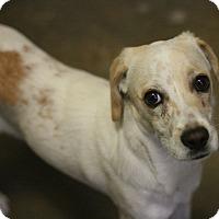 Adopt A Pet :: Snowball - Canoga Park, CA