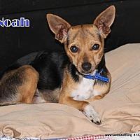 Adopt A Pet :: Noah - Rhome, TX