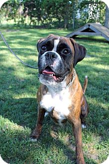 Boxer Dog for adoption in Essington, Pennsylvania - Jax