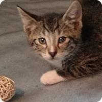 Domestic Shorthair Kitten for adoption in Des Moines, Iowa - Ira
