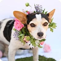 Adopt A Pet :: Sweet Pea - Auburn, CA