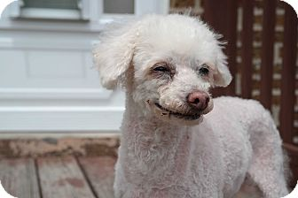 Poodle (Toy or Tea Cup) Dog for adoption in Chicago, Illinois - Iverson