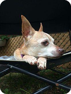 Chihuahua Dog for adoption in Toronto, Ontario - TacoBell 3004