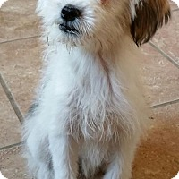 Adopt A Pet :: Trixie - Yucaipa, CA